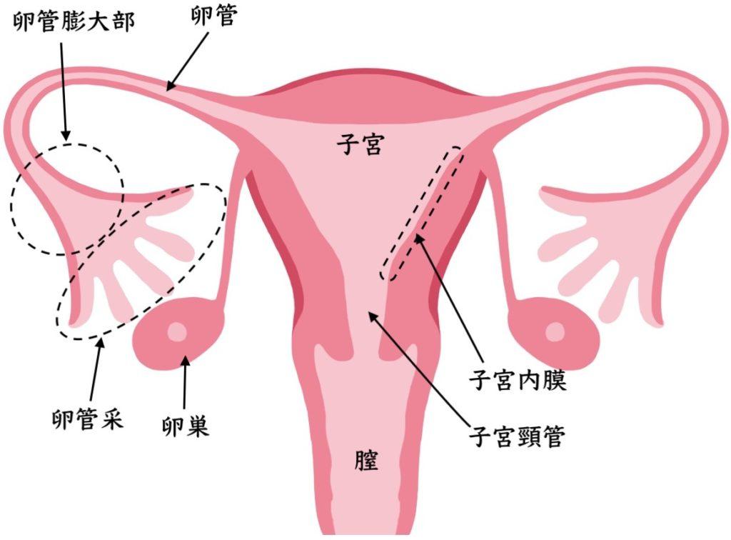 子宮の各部位の名称